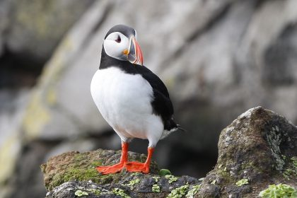 Puffin Spring Hihglights 2016