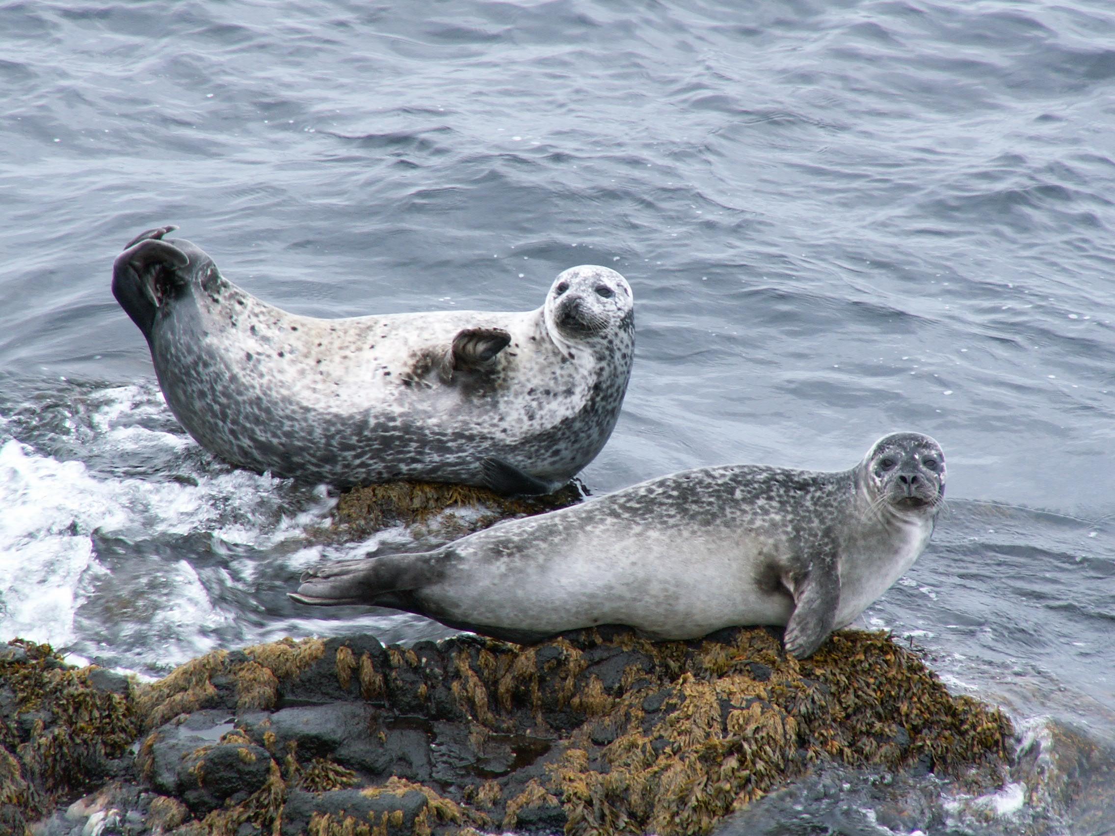 Seehunde bei Illugastaðir