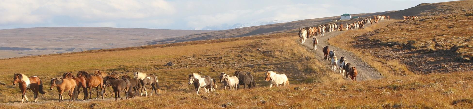 Die Herde auf dem Weg zum Pferch