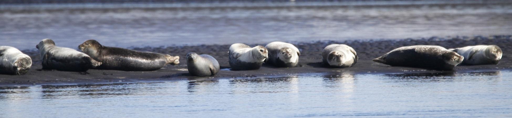 Seehunde bei Hvítserkur