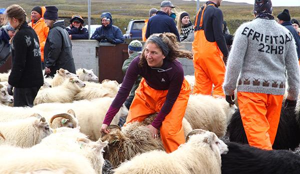 Miðfjarðarrétt - Aussortieren macht Spass