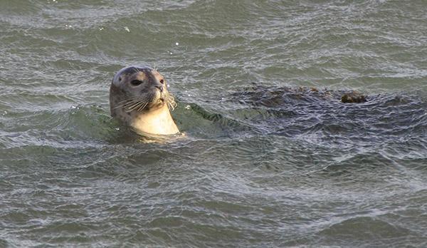 es sind immer Seehunde in Vatnsnes